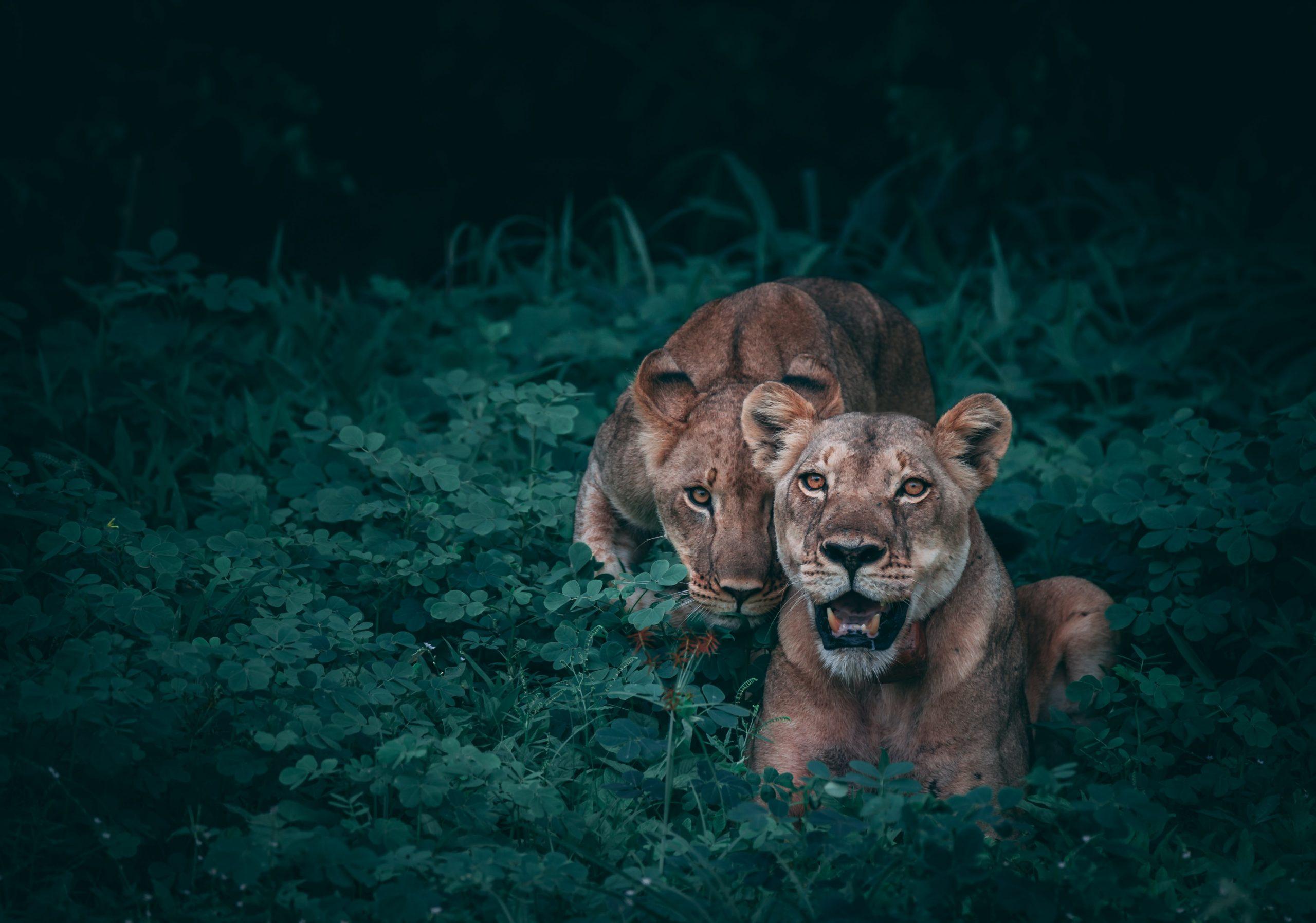 Néha egy oroszlán is emberségesebb az embernél…